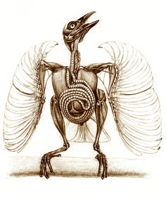 Trumpet Manucode's WTF anatomy! Spiraling tracheal coil made me gasp in awe when I saw this image in the book. The Unfeathered Bird