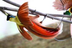 Cendrawasih merah, red bird of paradise. Endemik Indonesia, Cendrawasih Merah hanya ditemukan di hutan dataran rendah pada pulau Waigeo dan Batanta di kabupaten Raja Ampat, provinsi Irian Jaya Barat.
