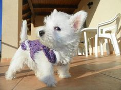 awwww Westie...nothing cuter than a Westie!! Looks like a spastic explosion of puppy energy in three, two....