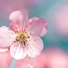 fine art photography pink botanical photo - cherry blossom nature photography 5x5 - pink blue teal sakura pastels -  macro photo Spring