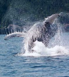 Whale watching trips and wildlife tours in Newfoundland. Sea kayaking whale watching, hiking and fishing from base camp in Newfoundland South Coast Wilderness Native Canadian, Visit Canada, Newfoundland And Labrador, Travel Humor, Whale Watching, Oregon Coast, Outdoor Life, Animal Design, Marine Life