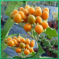 Nenáročný poloker s velkými srdčitými listami. Kvety aj plody rastu v strapcoch. Veľkost pri dodaní je 20/30 cm Dwarf Trees, Vegetable Garden, Pesto, Plum, Fruit, Vegetables, Kitchen, Vases, Farmhouse Garden