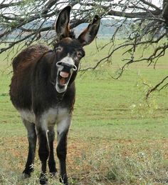 Laughing donkey Visit our page here: http://what-do-animals-eat.com/donkeys/