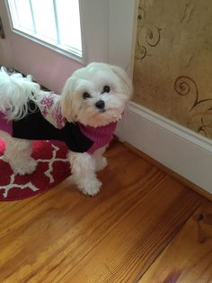 I'm waiting! So, so pretty or handsome if you are a male. Teacup Puppies, Cute Puppies, Cute Dogs, Dogs And Puppies, Teacup Maltese, Doggies, Maltese Poodle, Maltese Dogs, Dog Photos