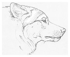 snarling wolf drawings - Google Search