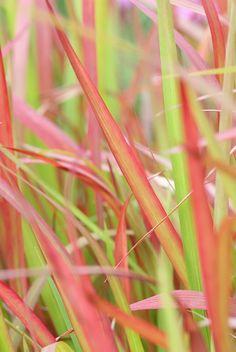 Alpine Meadow, Ornamental Grasses, Baron, Mother Earth, Perennials, Plants, Red, Image, Garden Grass