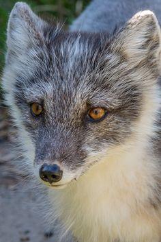 Arctic Fox by John Vargas on 500px