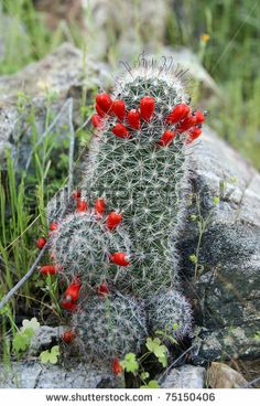 (Mammillaria grahamii or Mammillaria microcarpa) Pincushion Cactus.. You can eat the fruits!