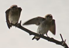 Northern Rough-winged Swallow (juvenile): 29 July 2014, Dyke Marsh Park. Alexandria, VA, party sunny, 65 degrees, breezy, 8:15 a.m., on dead branches over the tidal inlet near trail