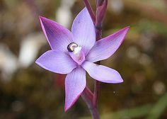 Granite sun orchid | Flickr - Photo Sharing!