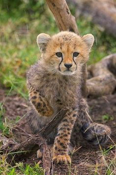 cheetah cub    Photo by Diana Eisenberg — National Geographic Your Shot