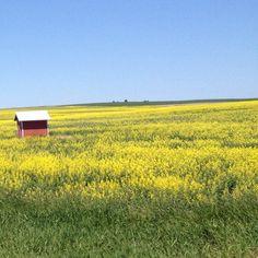 Fields of yellow outside of Spokane, WA #nofilter #webstagram