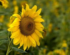 Sunflower with Bee,