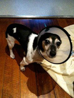 Great Makedo hack! Dog cone collar by Guy. No more licking for Pablo! Click the link for more creative inspiration.