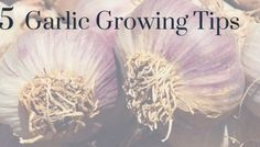 Garlic is a good choice for organic gardens throughout North America. Like onions, garlic is a cool weather crop; it requires cold in order for the bulb to split into cloves and, in some cultivars,… Autumn Garden, Easy Garden, How To Split, Winter Plants, Garlic Bulb, Mushroom And Onions, Growing Grapes, Grow Your Own, Gardening For Beginners