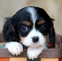 Discover Energetic Cavalier King Charles Spaniel Exercise Needs Cavalier King Charles Blenheim, King Charles Puppy, Cavalier King Charles Spaniel Puppy, Cute Puppies, Cute Dogs, Dogs And Puppies, Doggies, Spaniel Puppies, Cocker Spaniel