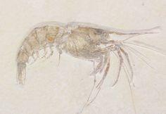 Large Fossil Shrimp (Aegertipularius) - Solnhofen Limestone