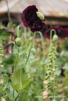 The Anneka Rice Colour Cutting Garden - Pumpkin Beth Black Peony, Black Flowers, Cut Flowers, Mauve Color, Colour, Raven Pictures, Plant Supports, Chelsea Flower Show, Container Plants