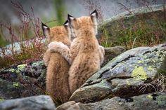 Tierische Geschwister-Liebe - Luchs-Nachwuchs nimmt sich in den Arm