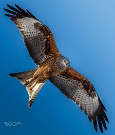 Milvus milvus by Johnny Heinzer / 500px Owls, Birds, Falcons, Eagles, Animals, Hawks, Animales, Eagle, Animaux
