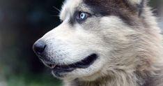 老犬の瞬膜が戻らない…目になんか膜があるんだけど!?これってなに!? - いぬのみみ Husky, Dogs, Animals, Animais, Animales, Animaux, Pet Dogs, Doggies, Animal