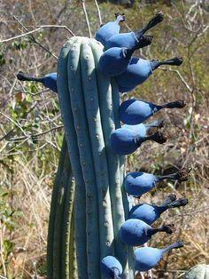 ~ Cipocereus bradei Cactus ~