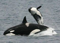 Beautiful Orca baby with Mom ....in fact Freedom is priceless....good for them<3