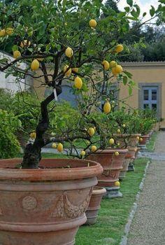 Potted lemon trees - Villa Medici di Castello, Tuscany, Italy Gartengestaltung When Life Gives You Lemons Tuscan Garden, Italian Garden, Tuscan House, Italian Villa, Garden Trees, Garden Pots, Potted Garden, Fruit Tree Garden, Landscape Design