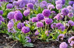 Primula Denticulata, Drumstick Primula, Tooth-Leaved Primrose, Shade plants, shade perennial, plants for shade, plants for wet soils
