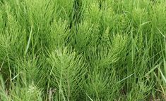 Caring for horsetail plants in the herb garden is easy, provided you keep it from jumping ship and overtaking other areas. Horsetail herb plants growing isn't difficult. Outdoor Plants, Outdoor Gardens, Bulk Tea, Agriculture Biologique, Healing Herbs, Natural Healing, Drying Herbs, Herbal Medicine, Herb Garden