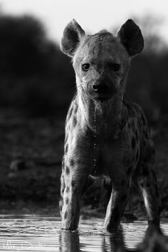 Hyena.  Somehow I just can't hear Woopi Goldberg's voice when I look at this. He looks ready to eat me whole.