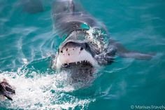 Cage Diving with Great Whites in South Africa. www.marisastravels.com