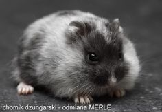 Chomik dżungarski-odmiana MERLE