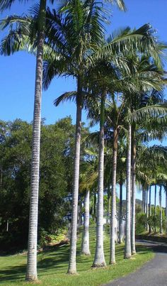 Carpentaria Palm... The worlds fastest growing palm. Up to 6 feet per year! Wow