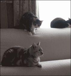 Cat knocks another cat off of a sofa - AnimalsBeingDicks.com