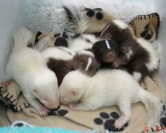 Baby Skunks - the white and brown babies mark these out as 'pet' skunks bred for these unusual colours, not wild skunks