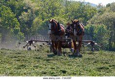 young-amish-boy-working-a-horse-drawn-hay-tedder-f3axrp.jpg (640×447)