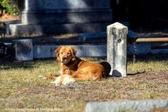A golden retriever refused to leave her dead puppy. The mother and pup were spotted at a cemetery in Savannah, Georgia. Hunter Cone and his mother brought the golden retriever food during the . Animal Shelter, Animal Rescue, Brave Animals, Cat In Heat, Pet News, Angels Among Us, Animals Of The World, Dog Names, Savannah Chat