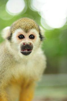 Squirrel Monkey                                                                                                                                                                                 More