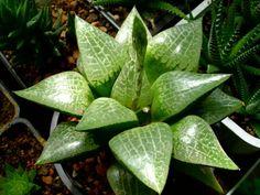 Haworthia emelyae var. comptoniana - See more at: http://worldofsucculents.com/haworthia-emelyae-comptoniana
