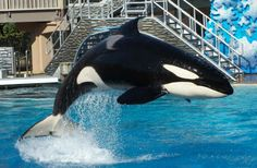 SeaWorld San Diego's Orca Show to End on Sunday