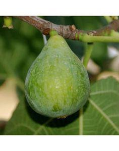 Ficus carica 'Fiorone' - Füge Ficus, Fruit, Figs, Fig, Ficus Tree