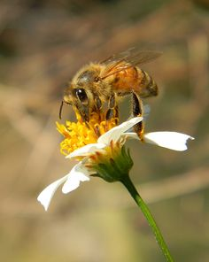 https://flic.kr/p/atrGx1 | Honey bee & flower by Savanna Kiefer | Celebrate bugs and blooms with us at this year's Garden Festival, today through Sunday. sandiegozoo.org/gardenfestival