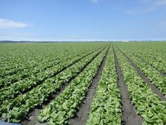 #Salinas, #CA, known as the lettuce bowl.  Chances are pretty good that the spinach, lettuce, or broccoli on your table were grown here.  Home of John Steinbeck