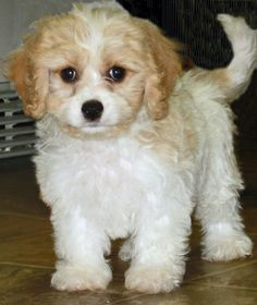I love cavachons! They are the best!!! Coco looked just like this as a puppy!