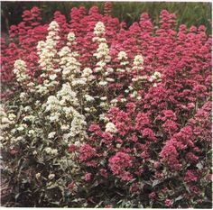 Sporebaldrian - juni-sept. - 50-70 cm -  Centranthus ruber
