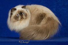 ~ Himalayan Cat ~