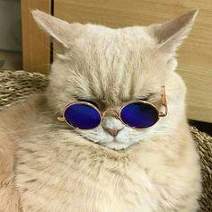 Gatos Cool, Cat Sunglasses, Wearing Glasses, Cat Shirts, Nature Wallpaper, Cat Life, Cool Cats, Dog Cat, Kittens