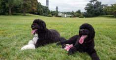 10 things Obama dogs Sunny and Bo can do in Palm Springs