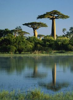 africa - I think those are baobab trees, Correct me if I'm wrong Le Baobab, Baobab Tree, Oh The Places You'll Go, Places To Visit, Beautiful World, Beautiful Places, Amazing Places, Dame Nature, Unique Trees